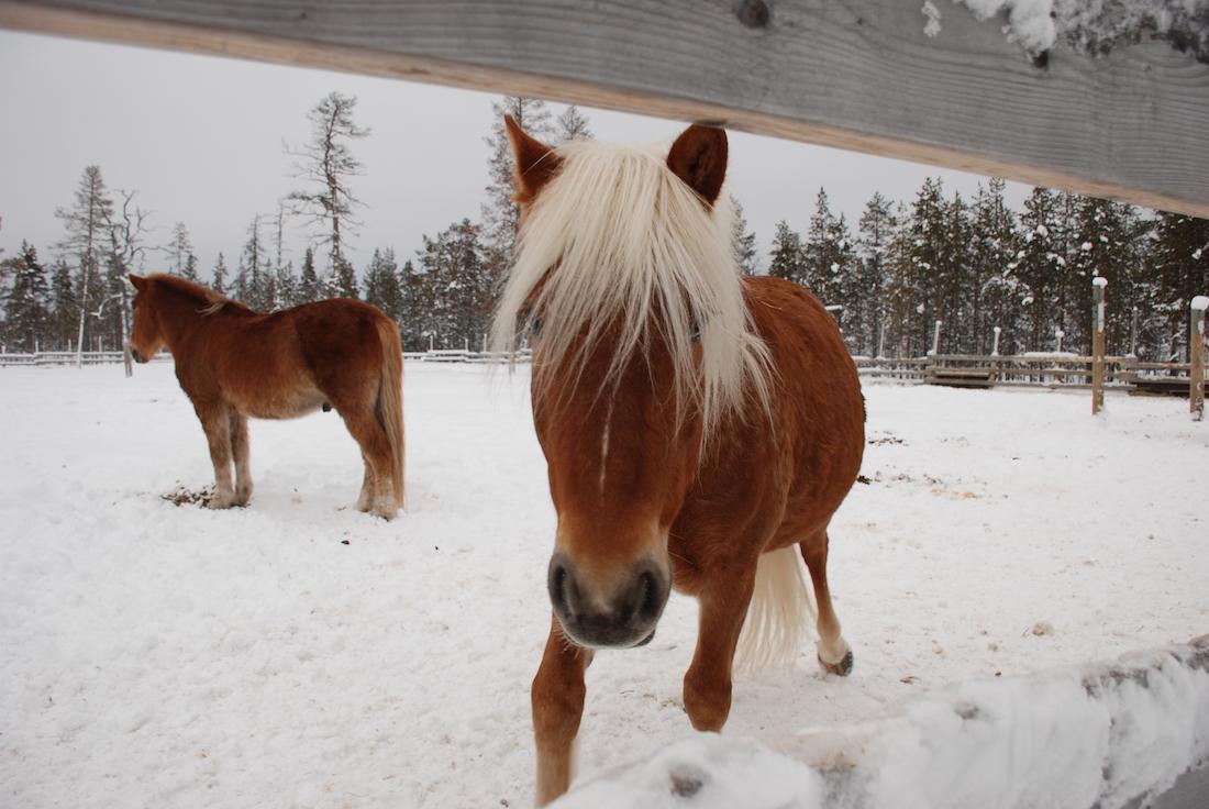 horse-finland
