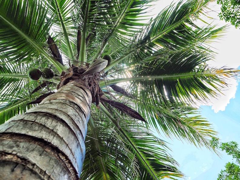 Palm-Tree-South-Island