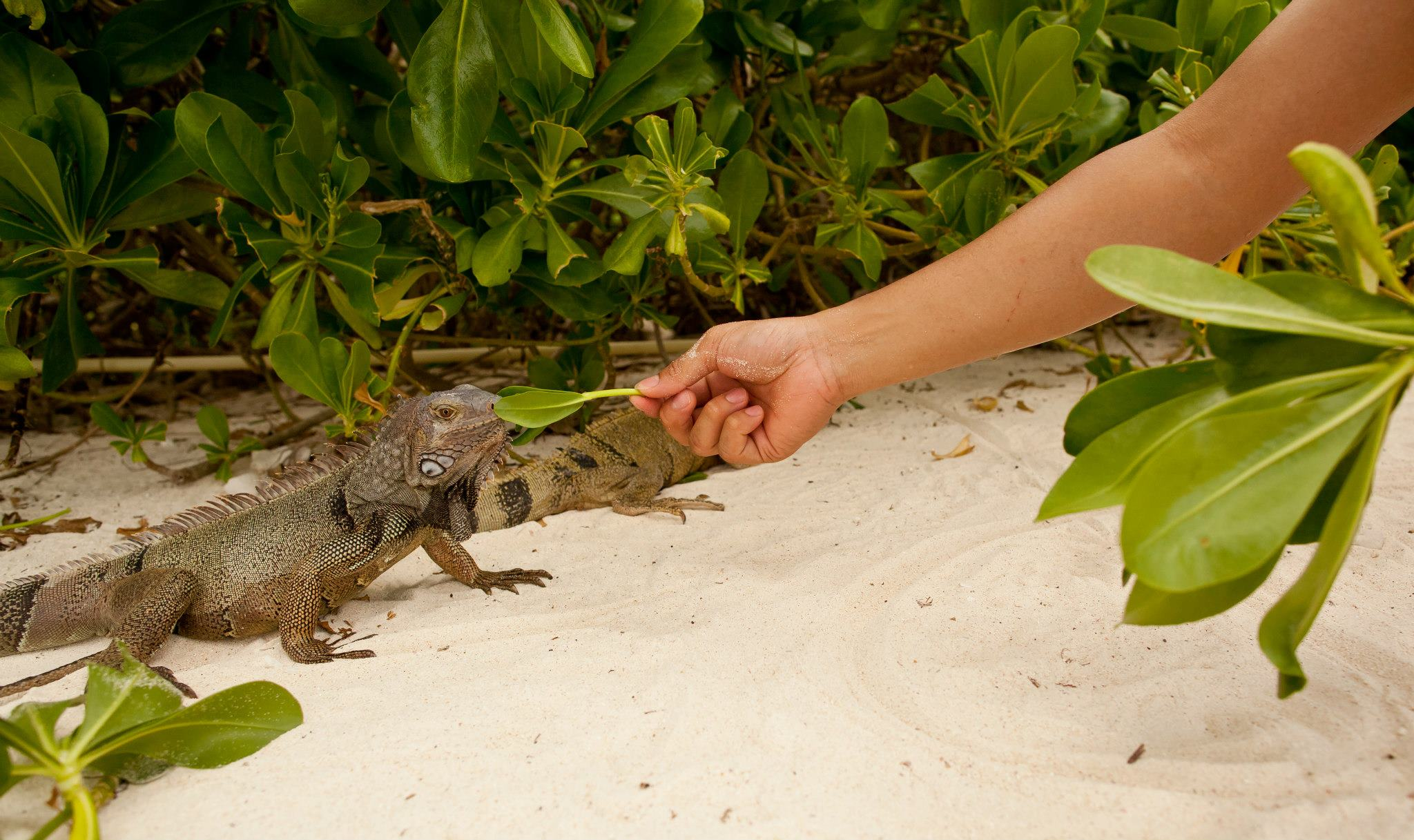 iguana-beach