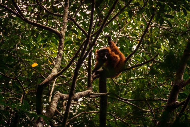 Madagascar-Red-Ruffed-Lemur