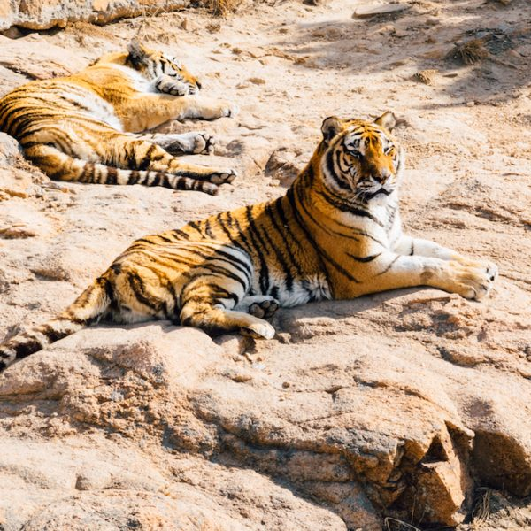 KANHA NATIONAL PARK, INDIA: THE JUNGLE BOOK TIGER SAFARI