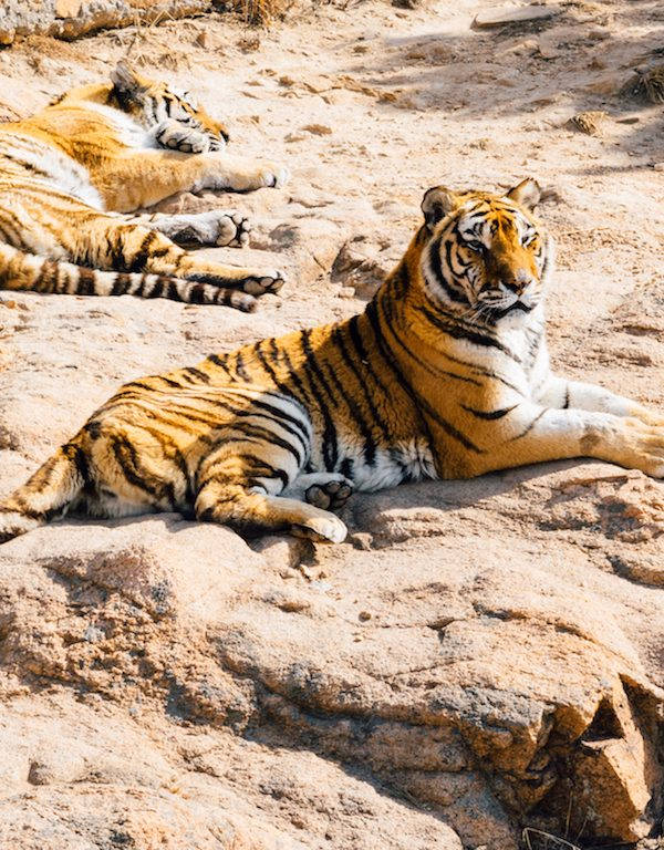 Kanha National Park: Tiger Safari In India