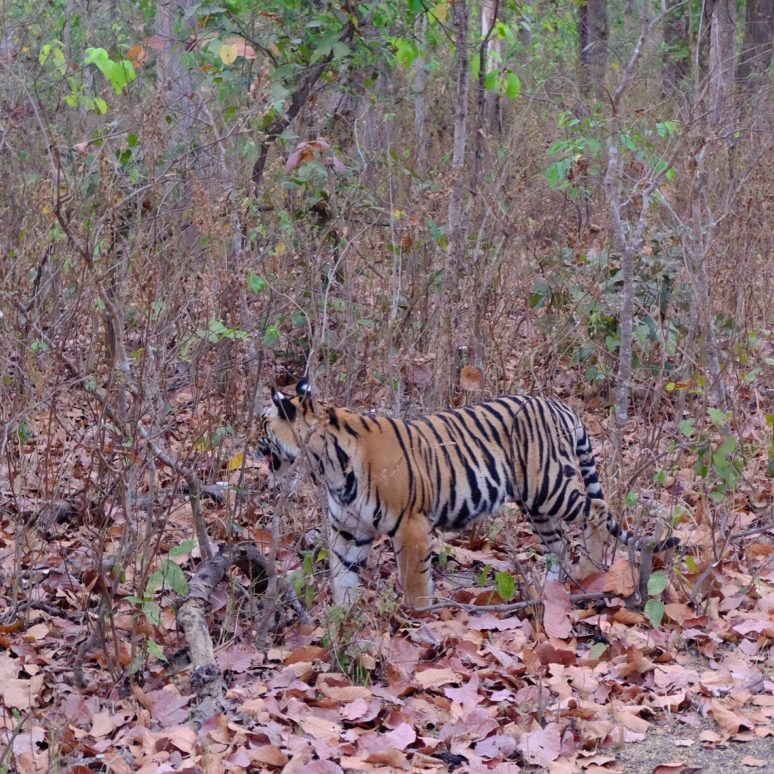 Kanha National Park: The Jungle Book Tiger Safari In India