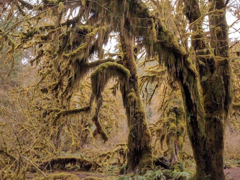 Olympic-National-Park-Hoh-Tree EXPLORING OLYMPIC NATIONAL PARK, SEATTLE
