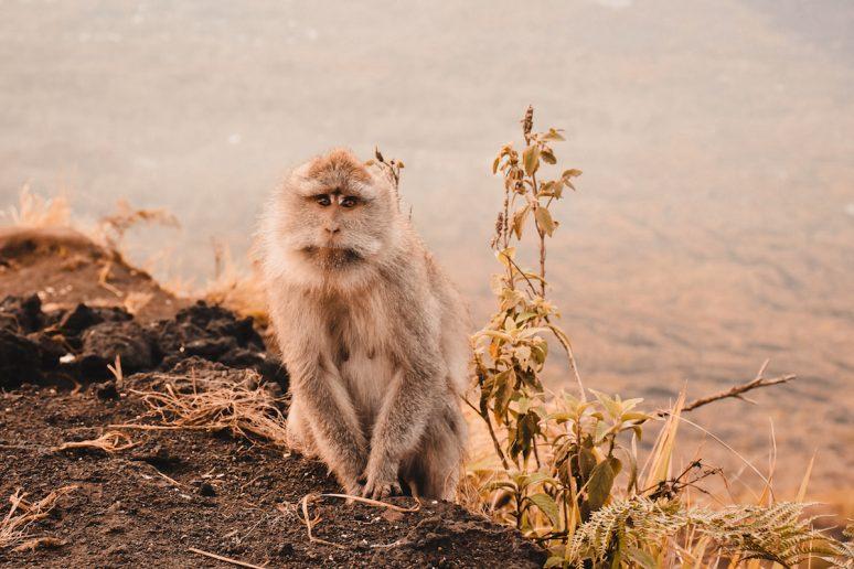 Monkey On Top of Mount Batur Hike in Bali