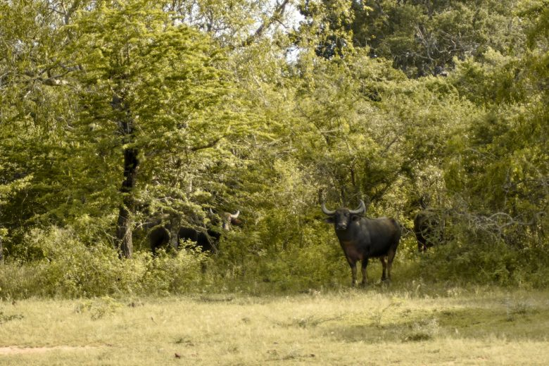 Yala National Park Cows