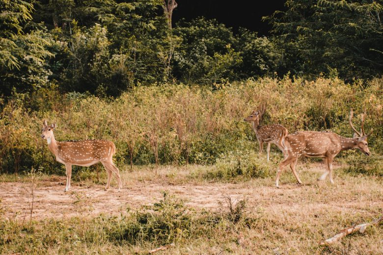 Yala National Park Deer