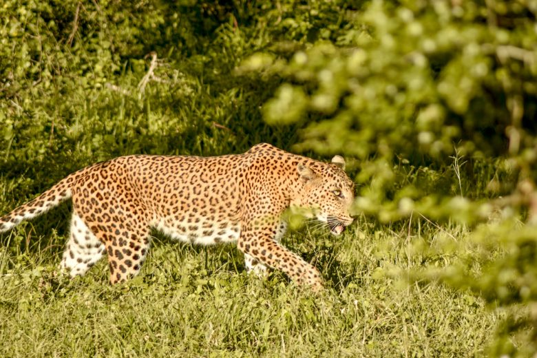 Yala National Park Leopard In Grass