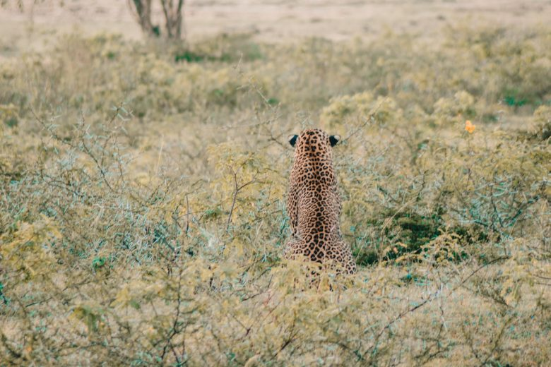 Yala National Park Leopard Sitting In Grass
