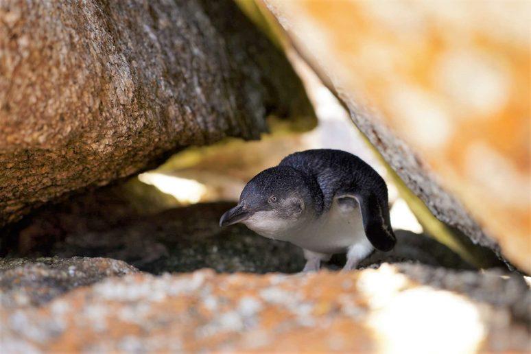 bicheno-penguin