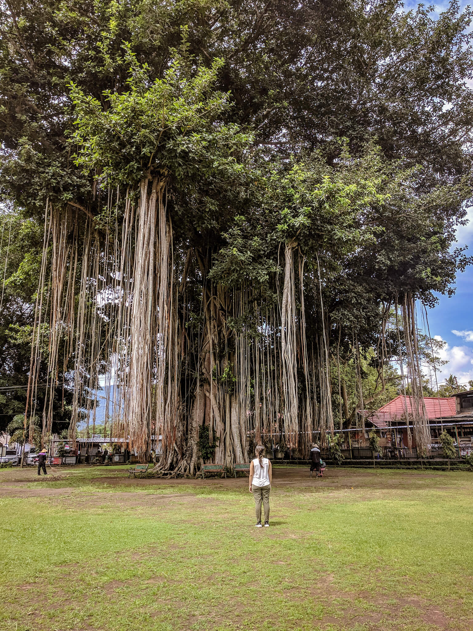 Old Banyan Tree at Candi Mendut in Indonesia