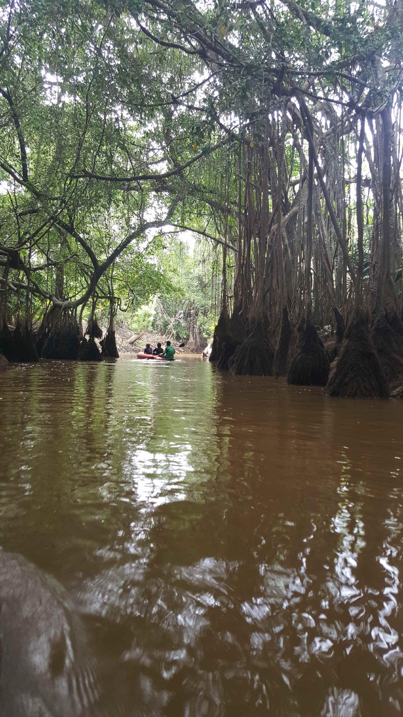 Mangroves on river in Khao Sok Park