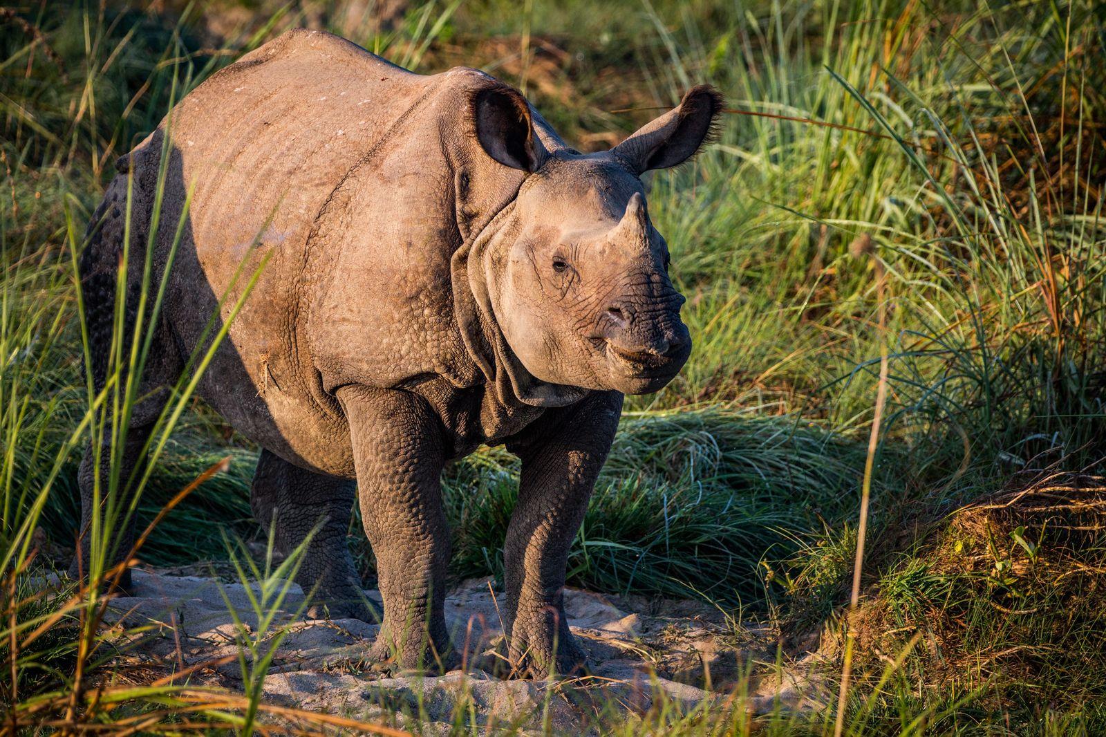 One horned rhino in Nepal